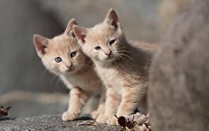 Фото Кошки Два Котят Животные