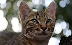 Фотография Коты Усы Вибриссы Морда Смотрит Голова животное
