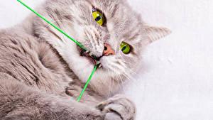 Обои Коты Белый фон Морда Смотрят животное