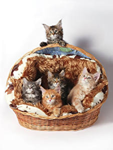 Фотография Кошки Белый фон Корзина Котята Животные