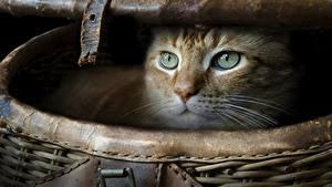 Картинки Коты Корзинка Взгляд животное