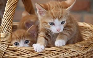 Фотография Кот Корзина Котенка Взгляд 2 Рыжая животное