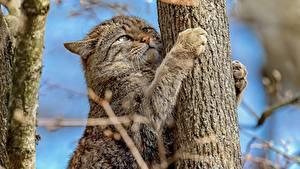 Картинка Кошки Ствол дерева Лап Wildcat Животные