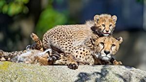 Фотографии Гепарды Детеныши Смотрят животное