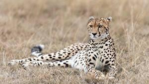 Картинка Гепард Траве Лежа животное