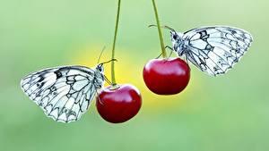 Обои для рабочего стола Черешня Бабочки Двое Pieridae животное