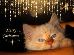 Обои Рождество Коты Английская Морды Слова животное