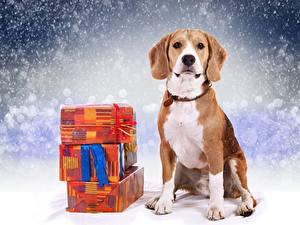 Фотография Рождество Собаки Бигль Подарки Животные