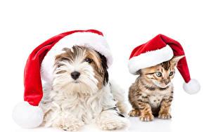Картинки Рождество Собака Кот Котята Йоркширский терьер Шапка Вдвоем Белым фоном животное