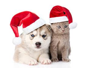 Картинка Рождество Собака Кот Белом фоне Шапка Хаски Котенка Два Животные