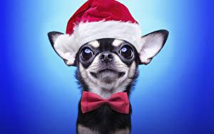 Фото Рождество Собаки Цветной фон Чихуахуа Шапки Бантик Смотрит