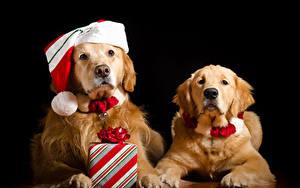 Фотография Рождество Собаки Золотистый ретривер Черный фон Вдвоем Шапки Подарок Смотрят Животные