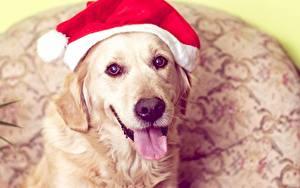 Фотография Рождество Собака Золотистый ретривер Шапка Язык (анатомия) Морды животное