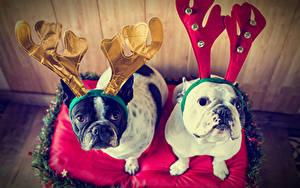 Обои Новый год Собаки 2 Бульдог Рога Взгляд