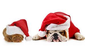 Картинка Новый год Собака Белый фон Бульдог Вдвоем Шапка Спят животное