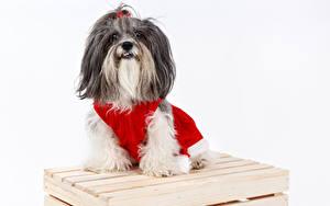 Картинки Рождество Собаки Белый фон Гаванский бишон Смотрит