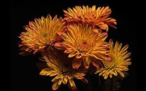 Фотография Хризантемы На черном фоне Цветы