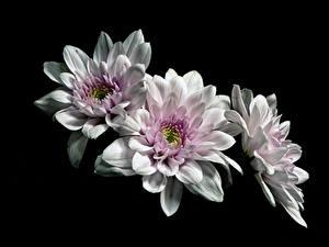 Обои для рабочего стола Хризантемы На черном фоне Трое 3 Белые цветок