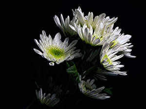 Обои для рабочего стола Хризантемы Черный фон Белый Цветы