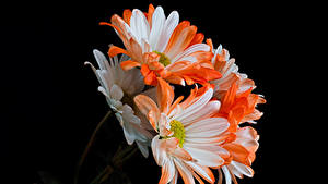 Картинка Хризантемы Вблизи На черном фоне цветок