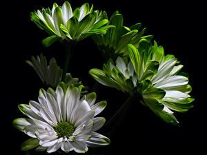 Фотография Хризантемы Вблизи На черном фоне цветок