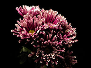Фотография Хризантемы Вблизи Черный фон Цветы