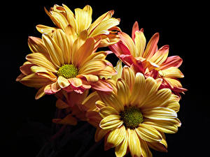 Обои Хризантемы Вблизи Черный фон цветок