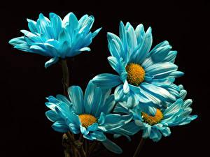 Фотографии Хризантемы Вблизи На черном фоне Голубой цветок