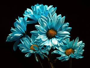 Фотографии Хризантемы Вблизи На черном фоне Голубая цветок
