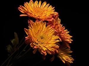 Картинки Хризантемы Вблизи Черный фон Оранжевых цветок