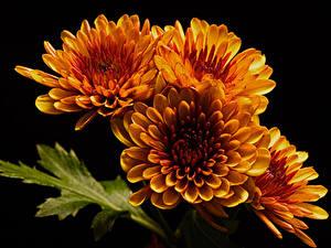 Картинка Хризантемы Вблизи На черном фоне Оранжевый Цветы