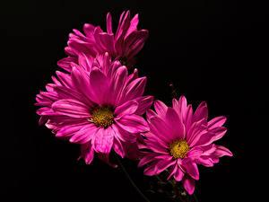 Картинки Хризантемы Крупным планом На черном фоне Розовые цветок