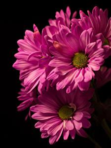 Обои Хризантемы Крупным планом На черном фоне Розовый цветок