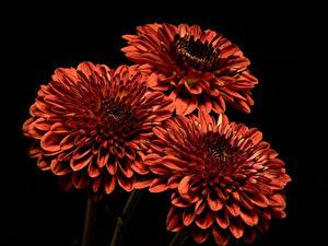 Фотографии Хризантемы Крупным планом Черный фон Трое 3 Оранжевый Цветы