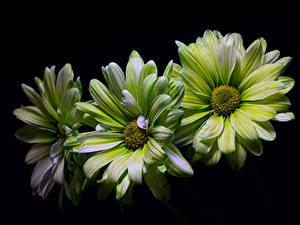 Фото Хризантемы Вблизи Черный фон Втроем Зеленых Цветы