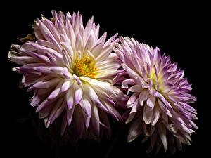 Обои Хризантемы Вблизи На черном фоне 2 цветок