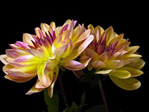 Фотография Хризантемы Вблизи Черный фон Две Цветы