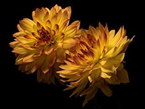 Фото Хризантемы Вблизи На черном фоне 2 Желтая цветок