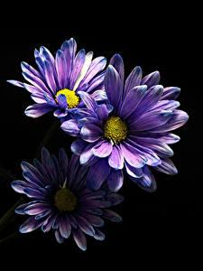 Картинки Хризантемы Крупным планом Черный фон Фиолетовая Три цветок
