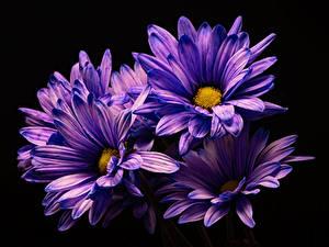 Картинка Хризантемы Крупным планом На черном фоне Фиолетовые цветок