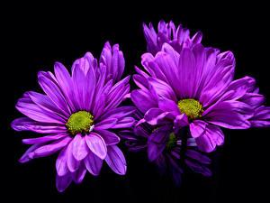 Картинка Хризантемы Крупным планом На черном фоне Фиолетовый цветок