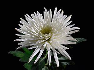 Обои для рабочего стола Хризантемы Крупным планом Черный фон Белый Цветы