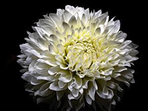 Картинки Хризантемы Крупным планом Черный фон Белый цветок