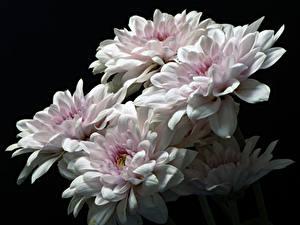 Фото Хризантемы Вблизи На черном фоне Белых цветок