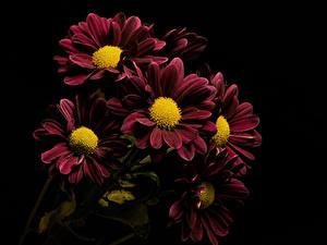 Фото Хризантемы Вблизи На черном фоне Бордовая Цветы