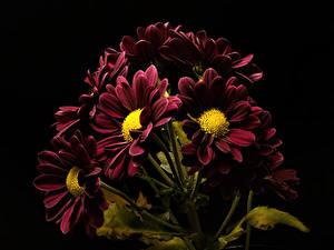 Обои Хризантемы Вблизи На черном фоне Бордовая цветок