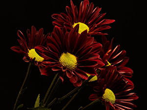 Картинка Хризантемы Вблизи На черном фоне Бордовая цветок