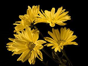 Обои Хризантемы Вблизи Черный фон Желтых цветок