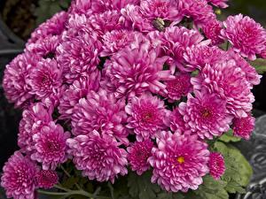 Картинки Хризантемы Много Розовый Цветы