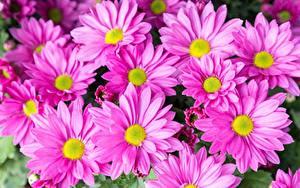 Картинка Хризантемы Много Розовая Цветы